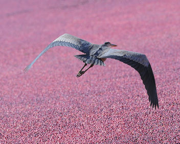 Great Blue Heron, Cranberry Harvest White's Bog New Jersey - image gratuit #306221