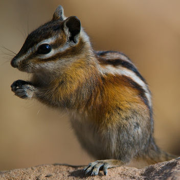 Colorado Chipmunk - image gratuit #306271