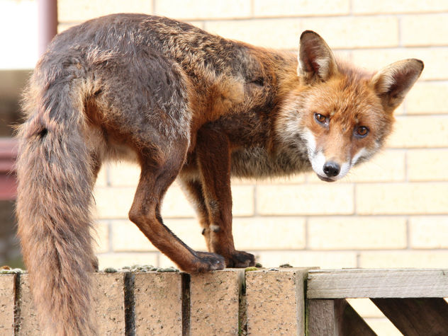 Urban fox - image #306371 gratis
