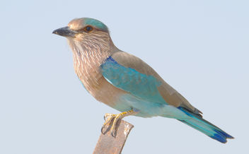 Indian Roller - image #306401 gratis