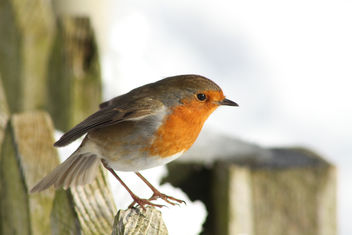 Robin in Winter Sun & Snow - image gratuit #306421