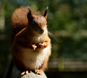 Squirrel With no Name (2) - image gratuit #306521