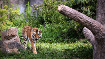 Prowling Tiger - Free image #306621