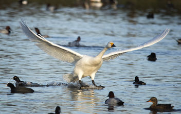 Bewick in Flight - Free image #306721