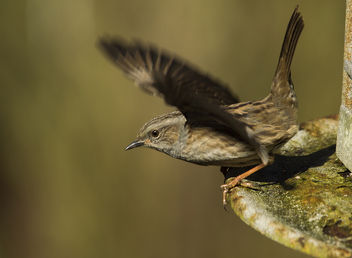 A Dunnock in take-off - image #306731 gratis