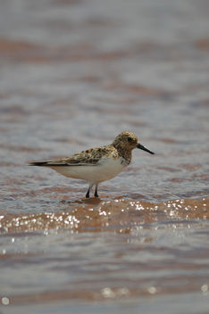 Little Stint - image gratuit #306831