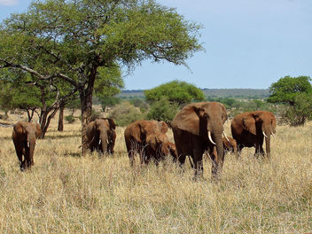 Elephants in Tarangire, Tanzania - бесплатный image #306851