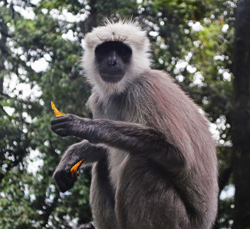 The Indian Grey Langur - Free image #306881