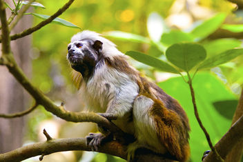 Under The Dome - The Cotton-Top Tamarin. - Free image #306891