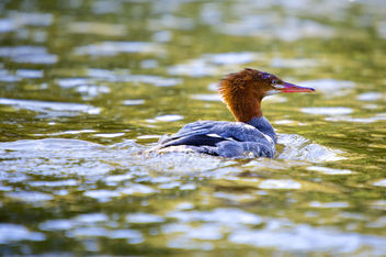 Common Merganser - image #306971 gratis