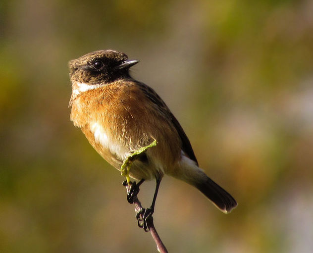 European Stonechat (male) - Free image #306991