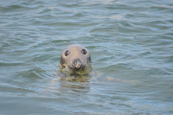 Seal in Dunbar Harbour - Free image #307031