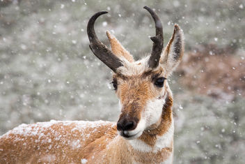 Pronghorn buck - Free image #307041