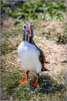 Puffin with Sand Eels - image #307051 gratis