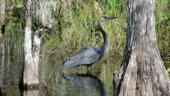 Florida: Big Cypress Swamp - a Majestic Blue Heron - image gratuit #307061