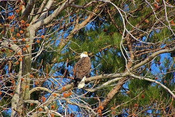 eagle in his perch - image gratuit #307091