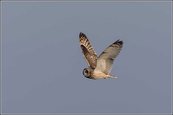 Short Eared Owl - Kostenloses image #307141
