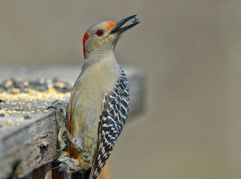 Red-bellied Woodpecker - image gratuit #307161