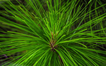 Needles of pine tree. - Free image #307381