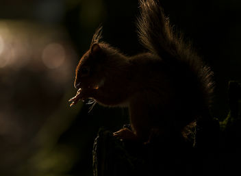 Red Squirrel Backlit - Free image #307421