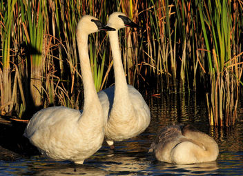 Trumpeter Swans on Seedskadee National Wildlife Refuge - бесплатный image #307461