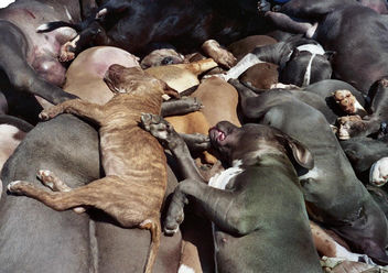 Graphic Dead family pet dogs & puppies killed by the city of Denver, CO because of Breed Specific Legislation (BSL) discrimination - Free image #308551