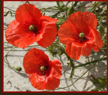 Poppy Love - image gratuit #309031