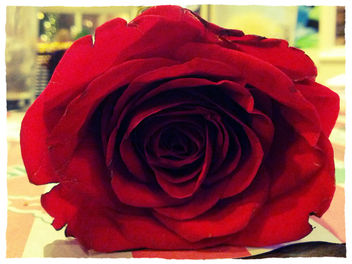 Valentine's Day Rose - бесплатный image #318331