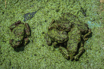 Green Frogs - Free image #320071