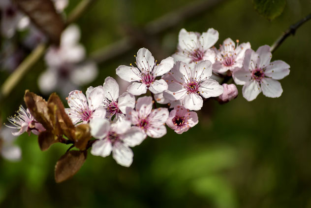 Cherry blossom - Kostenloses image #324661