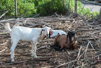 goats on a farm - image gratuit #328121