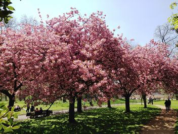 Pink blossom trees in Hyde park - бесплатный image #328411