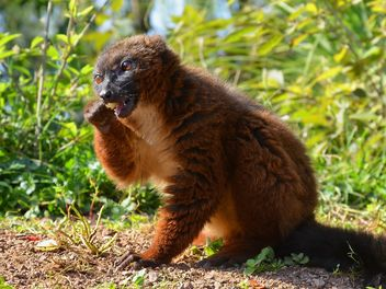 Lemur close up - image gratuit #328461