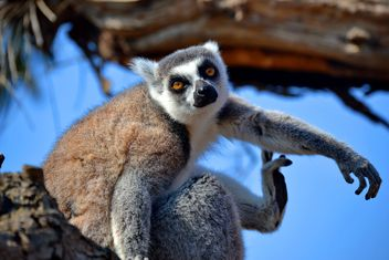 Lemur close up - Free image #328481