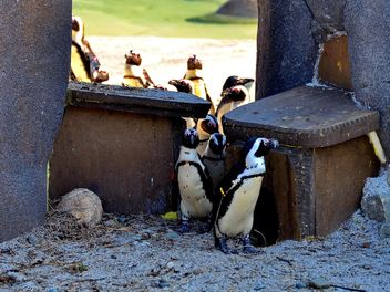 Group of penguins - Free image #328511