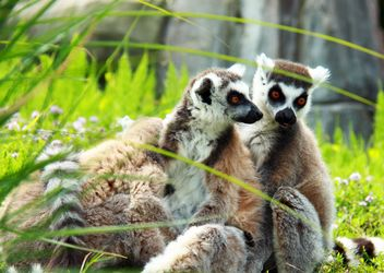 Lemur close up - image gratuit #328571