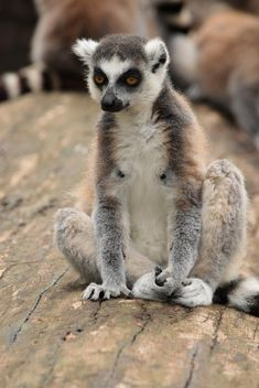 Lemur close up - Free image #328581