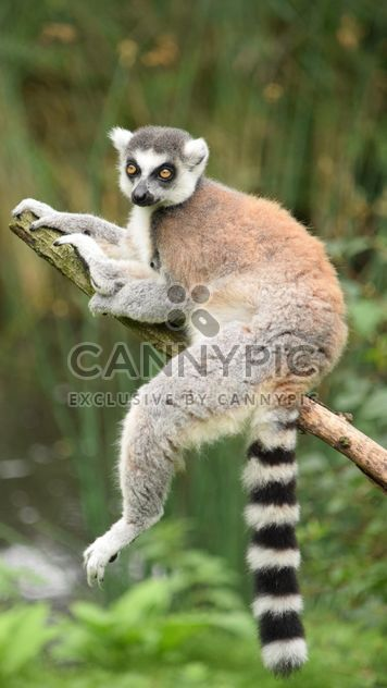 Lemur close up - image gratuit #328591