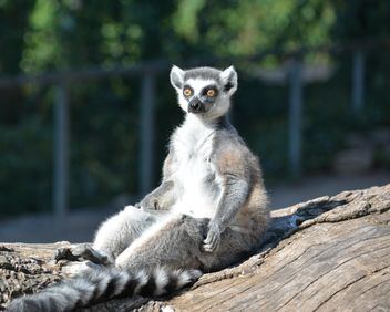 Lemur close up - image gratuit #328611