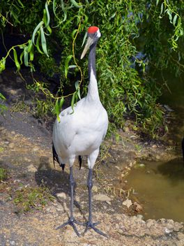 Crane in pond in a park - Free image #330291