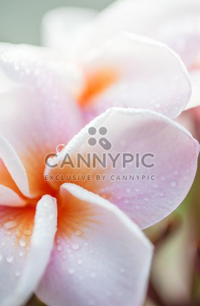 Close up of Plumeria - Free image #330851