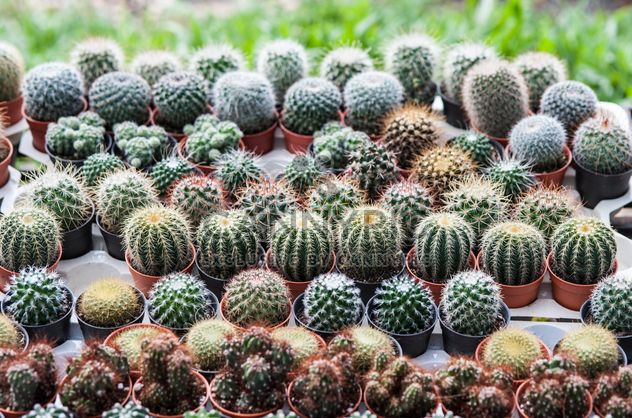 Potted cactuses - Kostenloses image #330881