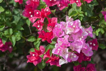 Bright pink bougainvillea bush - бесплатный image #330891