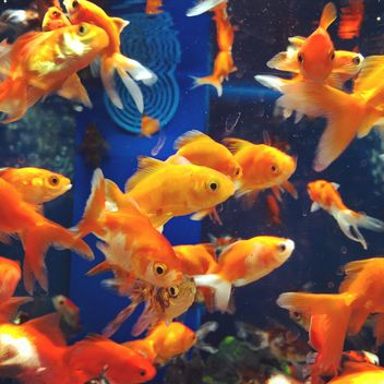 Gold fish in aquarium - Free image #331271
