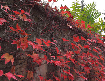 Turkey (Istanbul) Autumn leaves - Kostenloses image #332491
