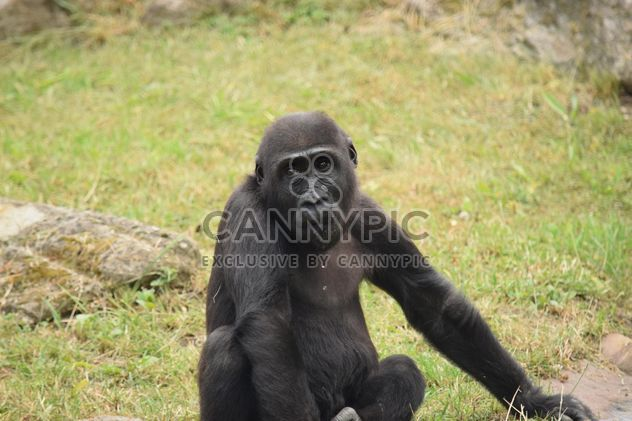 Gorilla rests in park - Free image #333161