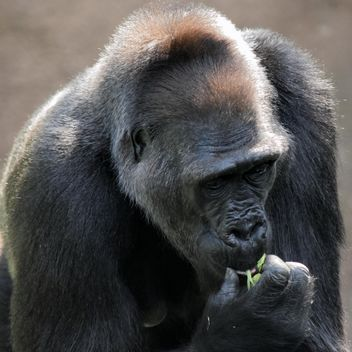 Gorilla eats green in park - бесплатный image #333171