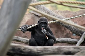 Gorilla on rope clibbing in park - image gratuit #333181