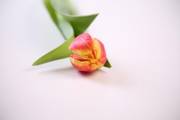Close up of a single tulip - image #333251 gratis