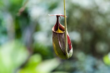 Nepenthes ampullaria, a carnivorous plant - бесплатный image #333271